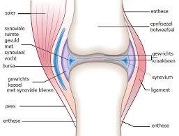 Spieren en gewrichten